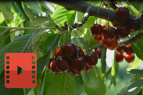 Cherry Process